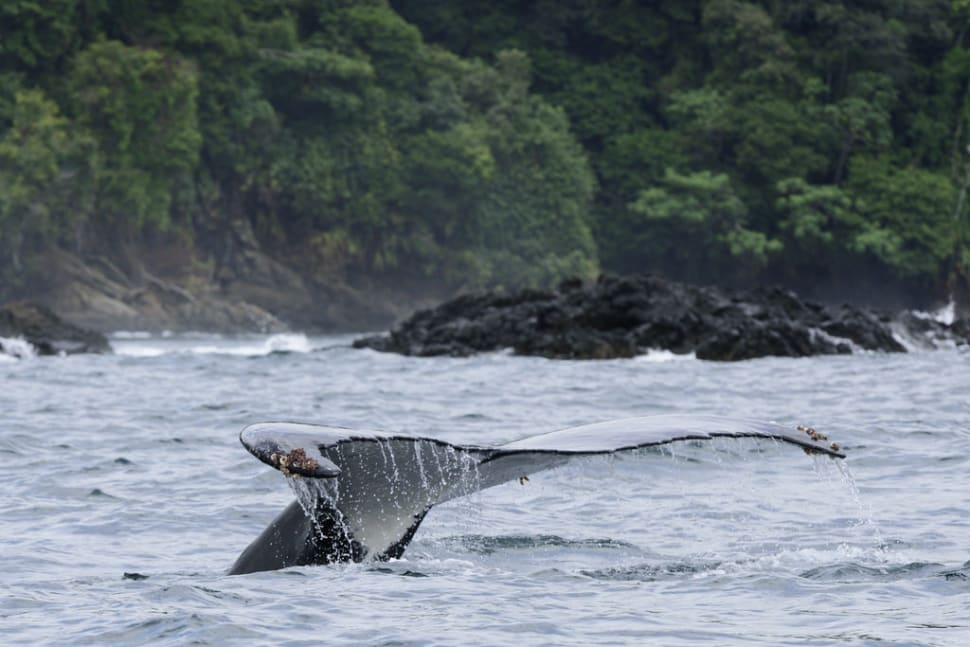 Best time to see Humpback Whales in Colombia