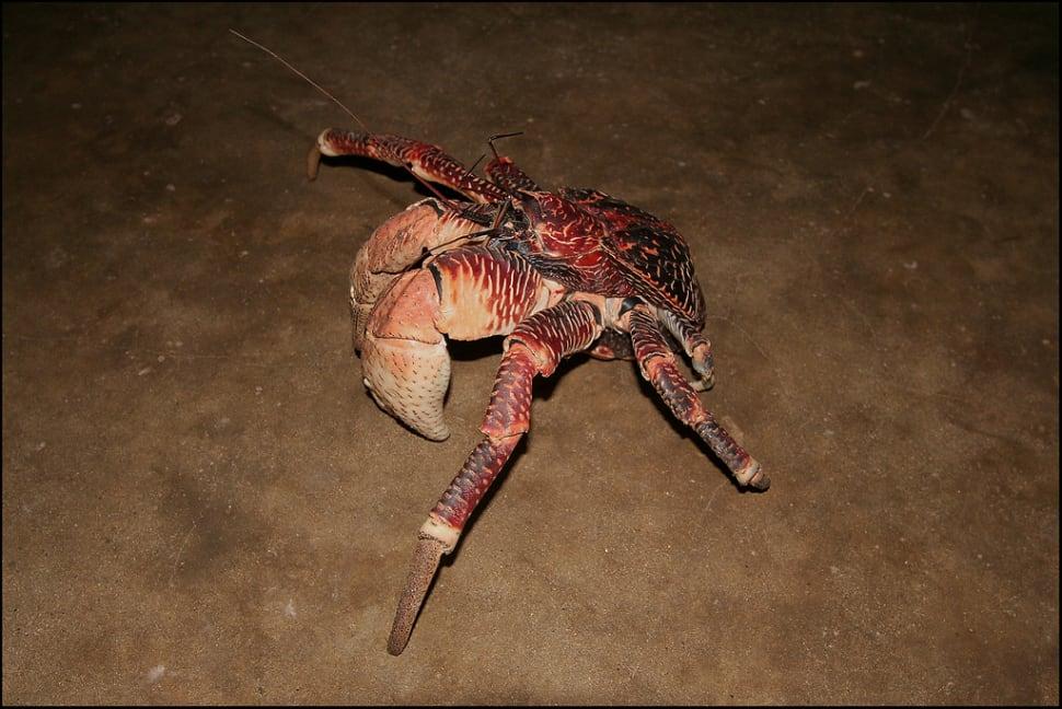 Coconut Crabs on Chumbe Island in Zanzibar - Best Season