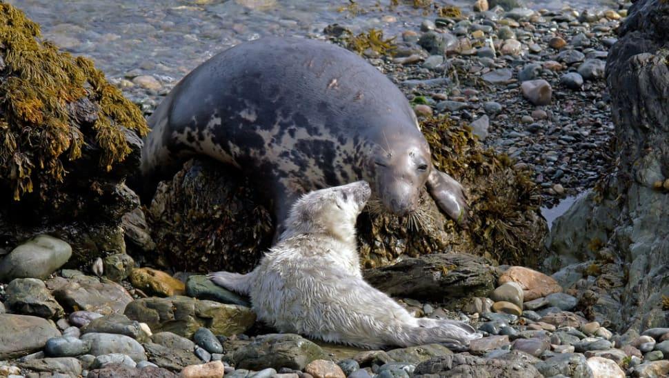 Atlantic Grey Seal Pups in Wales - Best Season