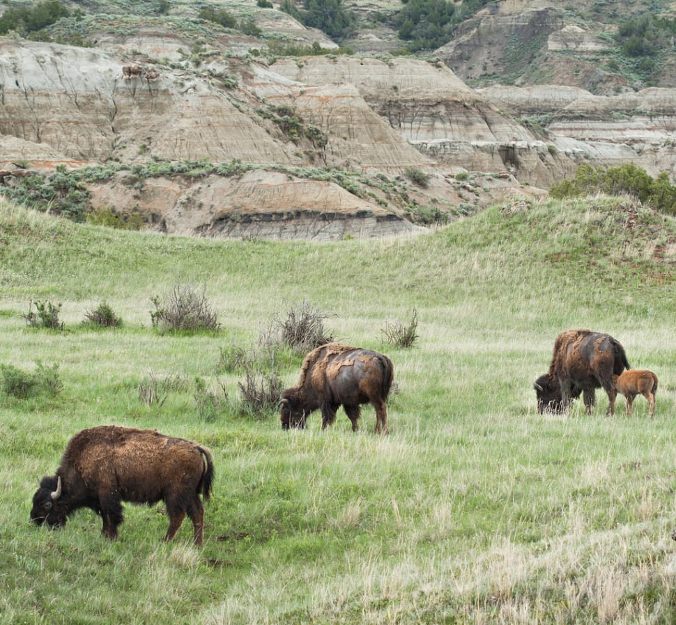 Best time for Baby Bison in the Theodore Roosevelt National Park in Midwest