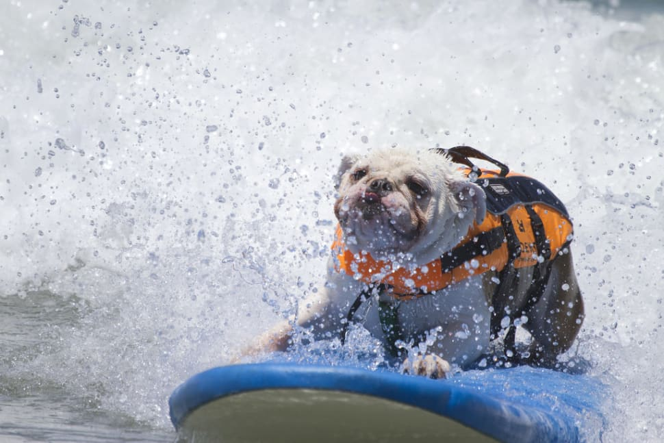 Surf Dog Competition in California - Best Season
