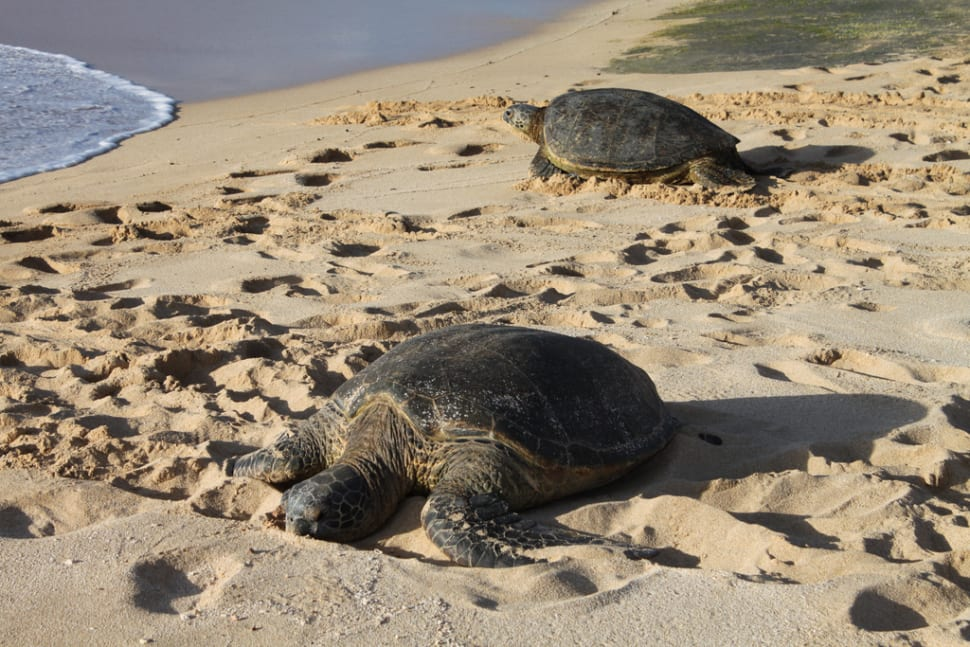 Best time for Laniakea or Turtle Beach in Hawaii