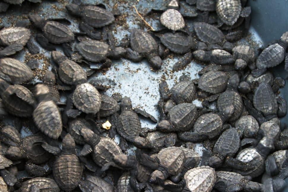 Bucket of turtles in Monterico, Guatemala