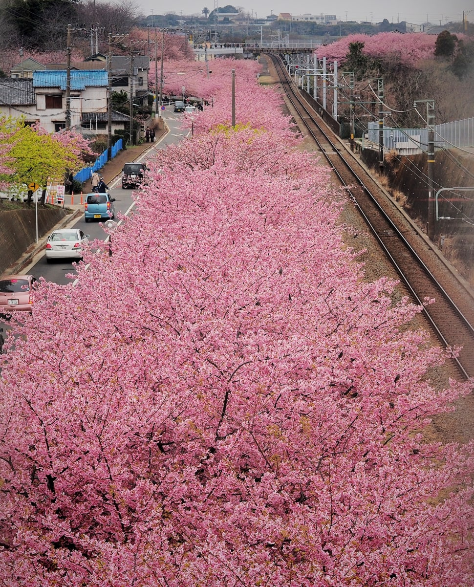 Best time for Cherry Blossoms in Japan