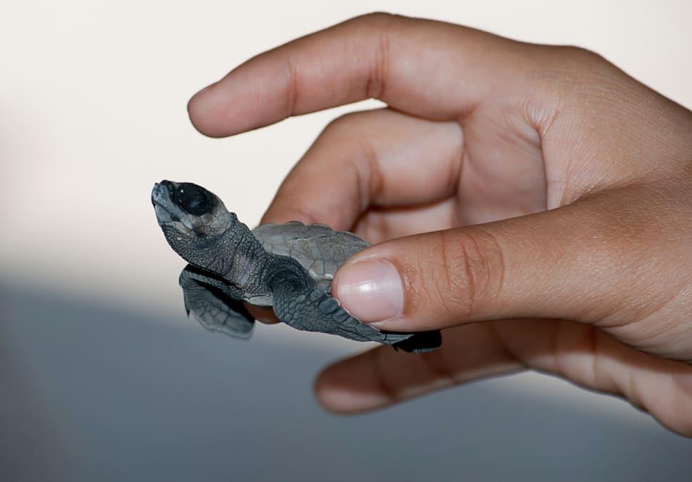 Sea Turtle Nesting and Hatching in Honduras - Best Season