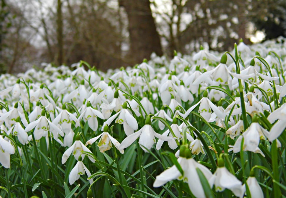 Host of snowdrops! A beautiful sight in the grounds of Penrhyn castle.