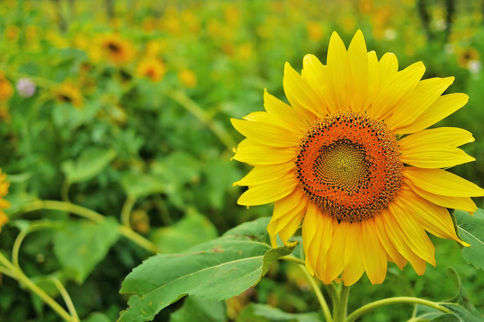 Sunflowers in South Korea - Best Time