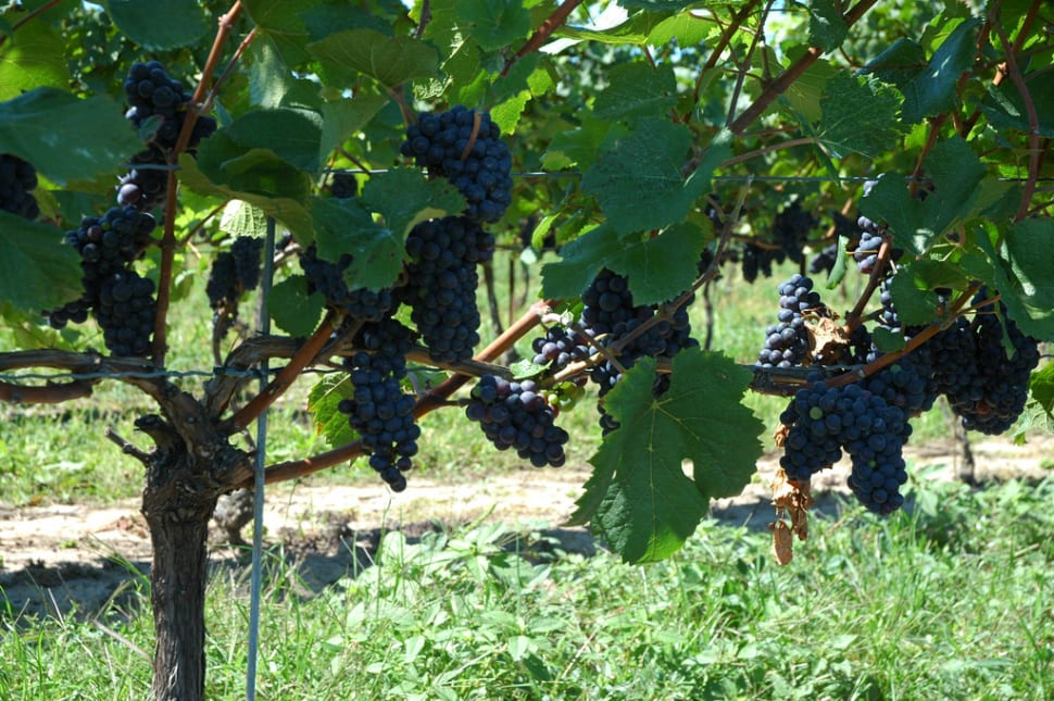 Grape (Wine) Harvest in Niagara Falls - Best Season