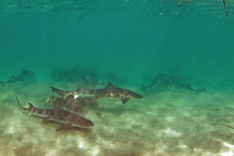 Snorkeling with Leopard Sharks in San Diego - Best Time