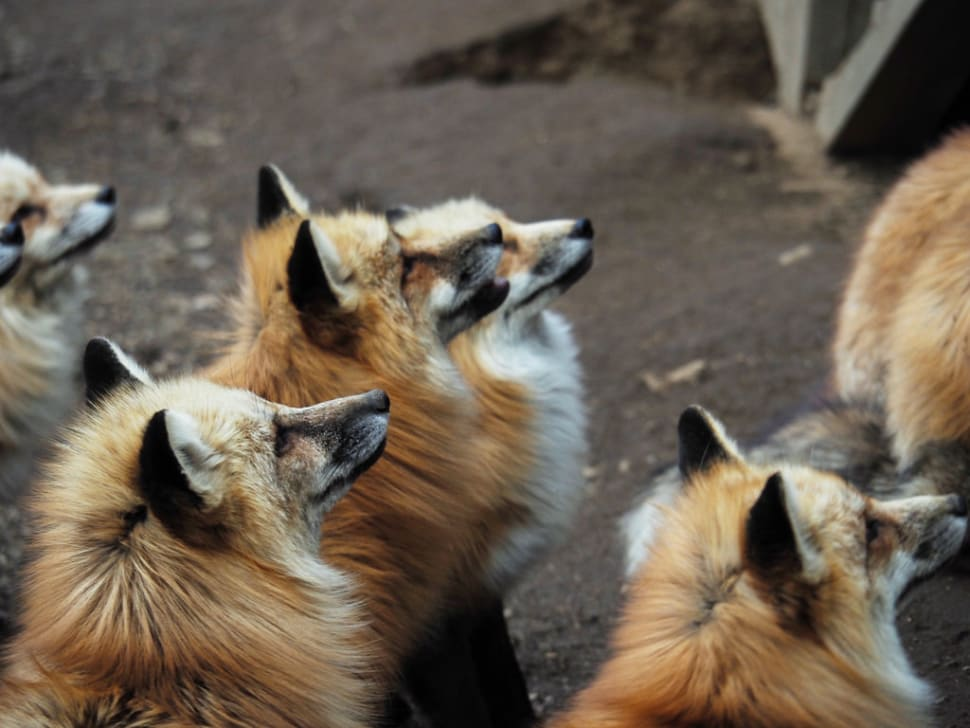 Things to do in Japan : Zao Fox Village