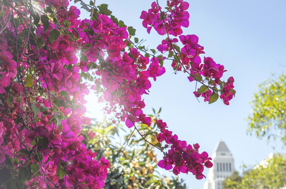 Bougainvillea Bloom in Los Angeles - Best Time