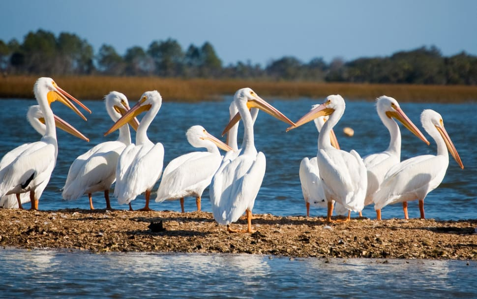 Things to do in Florida : White Pelicans