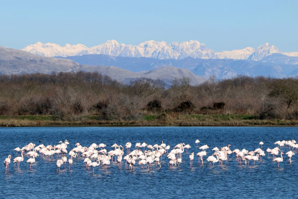 Flamingoes in Ulcinj in Montenegro - Best Season