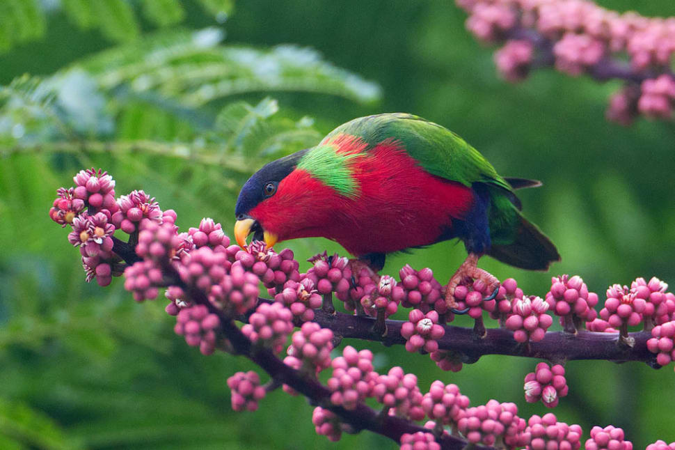 Best time for Collared Lory Breeding Season in Fiji