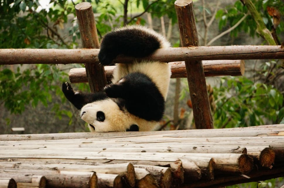 Best time for Giant Pandas in China