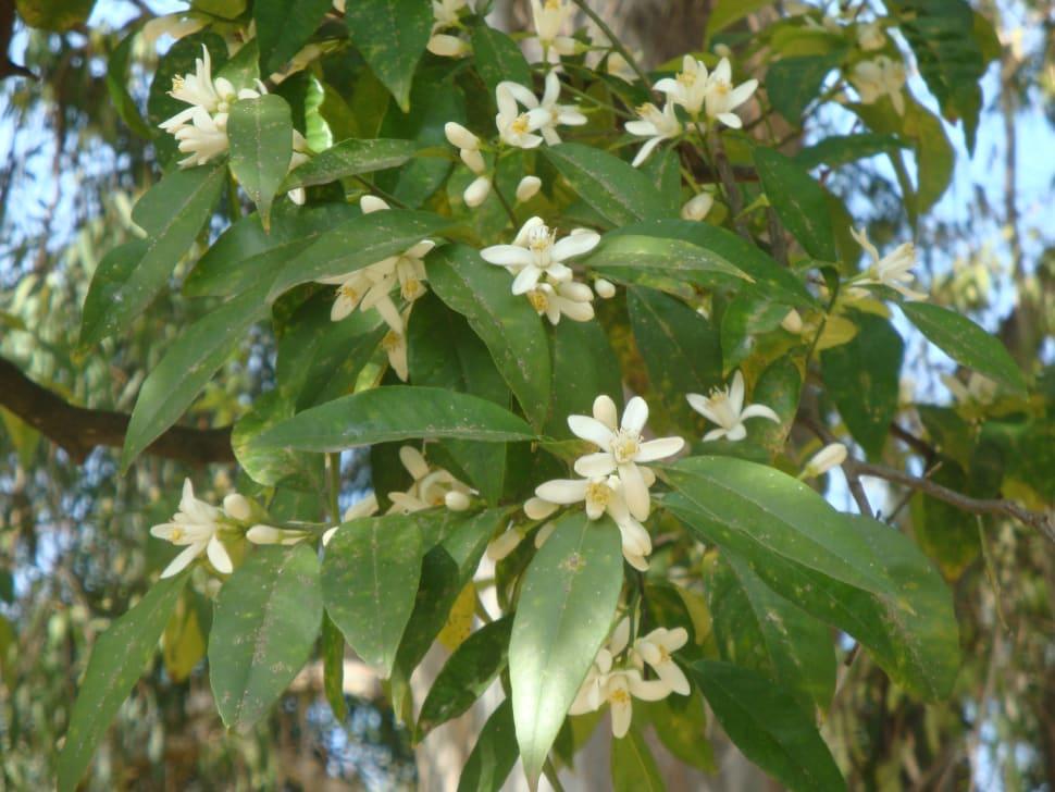 Orange Blossom (Azahar) in Seville - Best Season