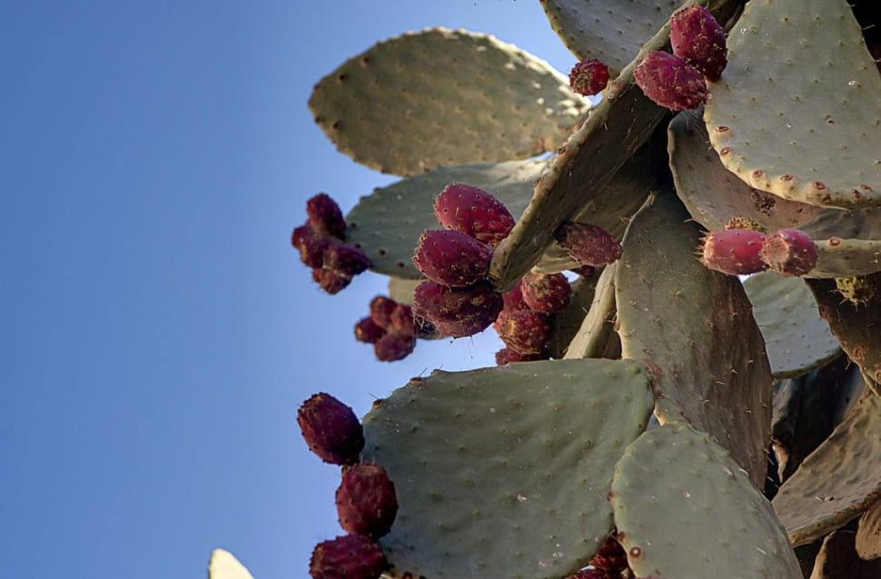 Best time to see Prickly Pear in Malta