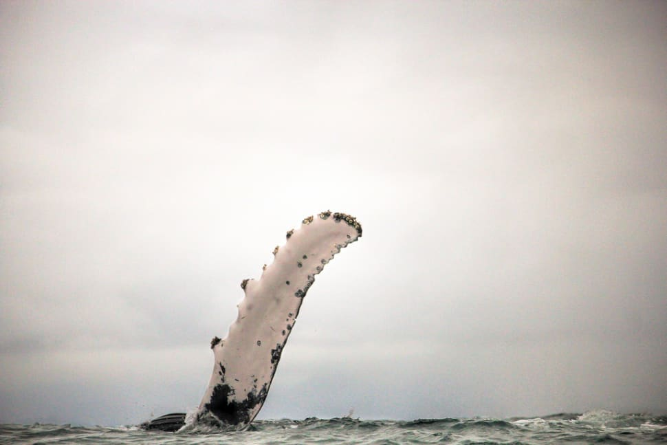 Best time for Humpback Whales in Colombia