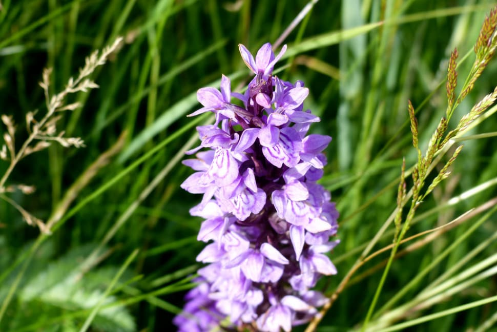Orchids at  Lauwersmeer in The Netherlands - Best Time