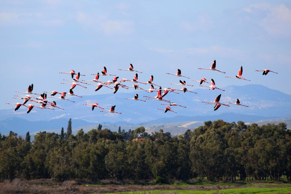 Greater Flamingos in Cyprus - Best Season