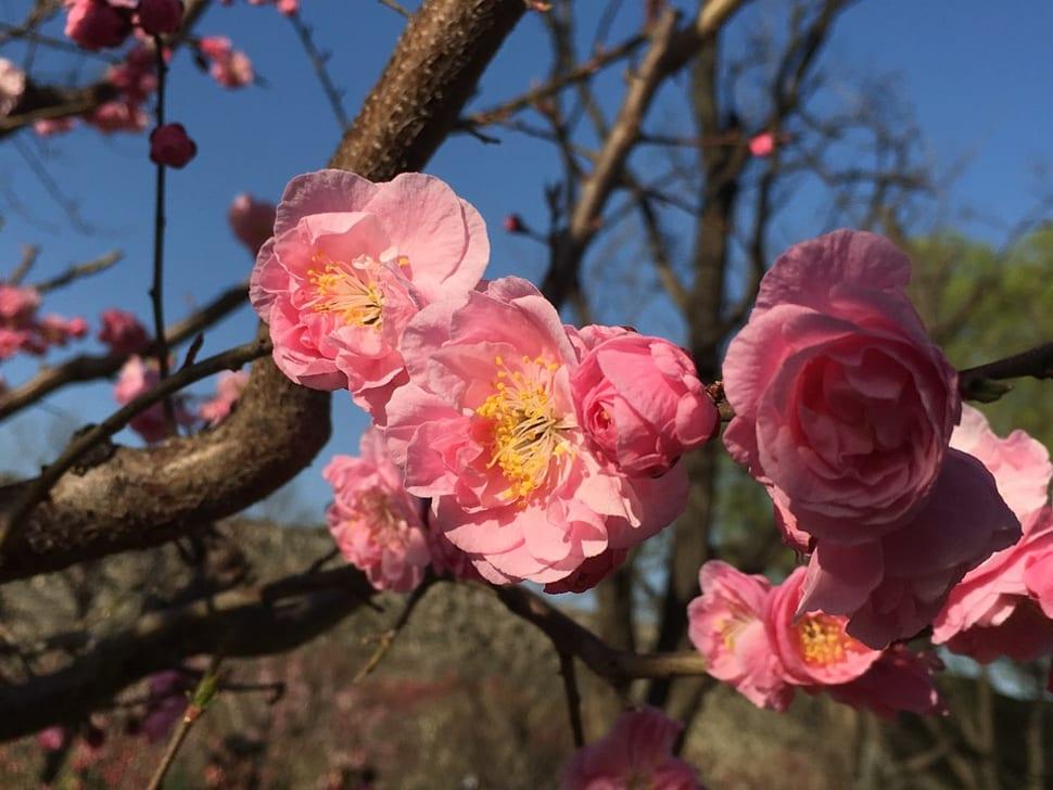 Plum Blossom Festival in Beijing - Best Time
