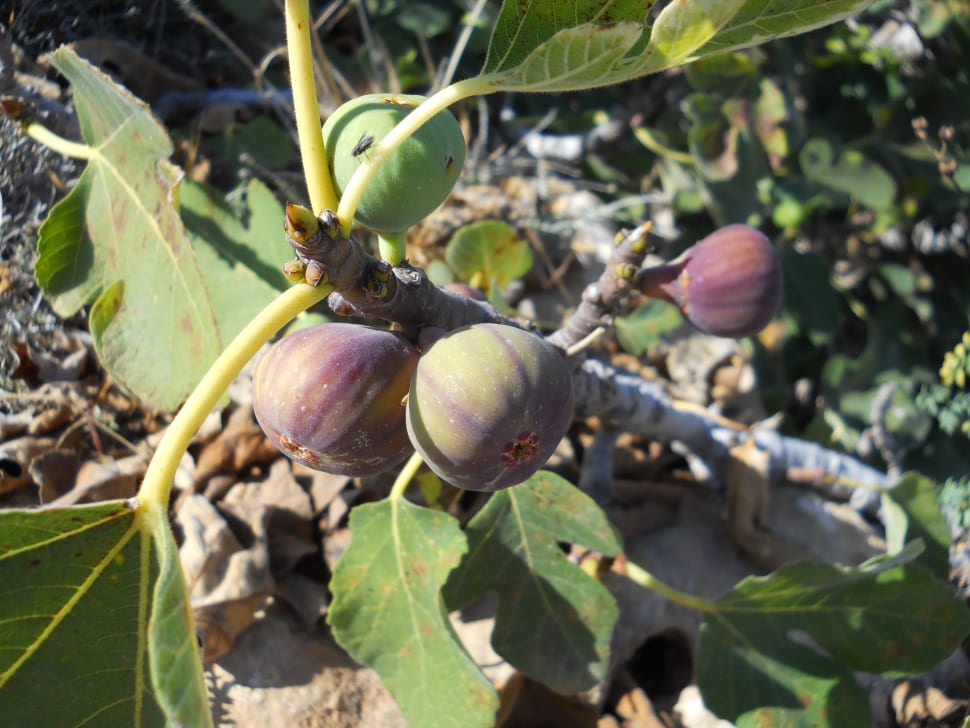 Figs in Cyprus - Best Time