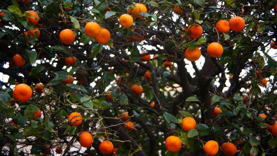 Tangerine Harvesting Season in Croatia - Best Season