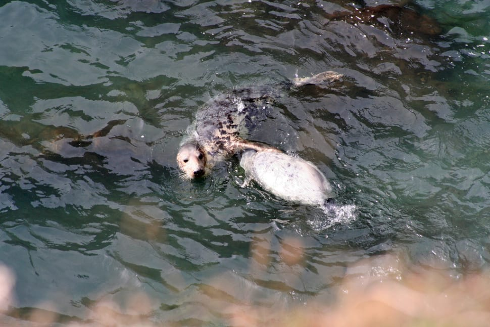 Atlantic Grey Seal Pups in Wales - Best Time