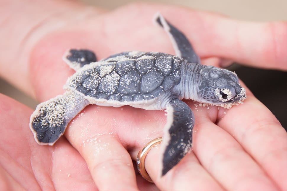 Best time for Turtle Nesting and Hatching in Cancun