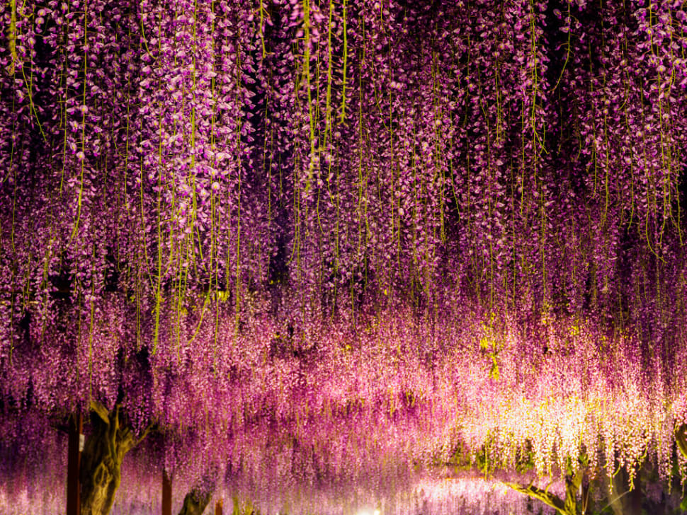 how to create a wisteria tunnel