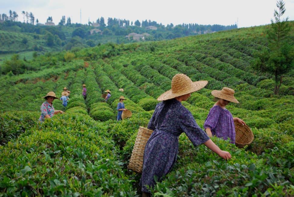 Georgian Tea Season in Georgia - Best Time
