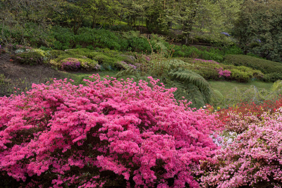 Best time for Rhododendron Blooming in Dandenong Ranges Botanic Garden in Victoria