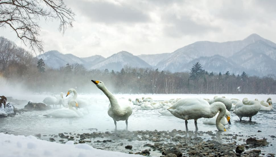 Whooper Swans at Lake Kussharo in Japan - Best Season