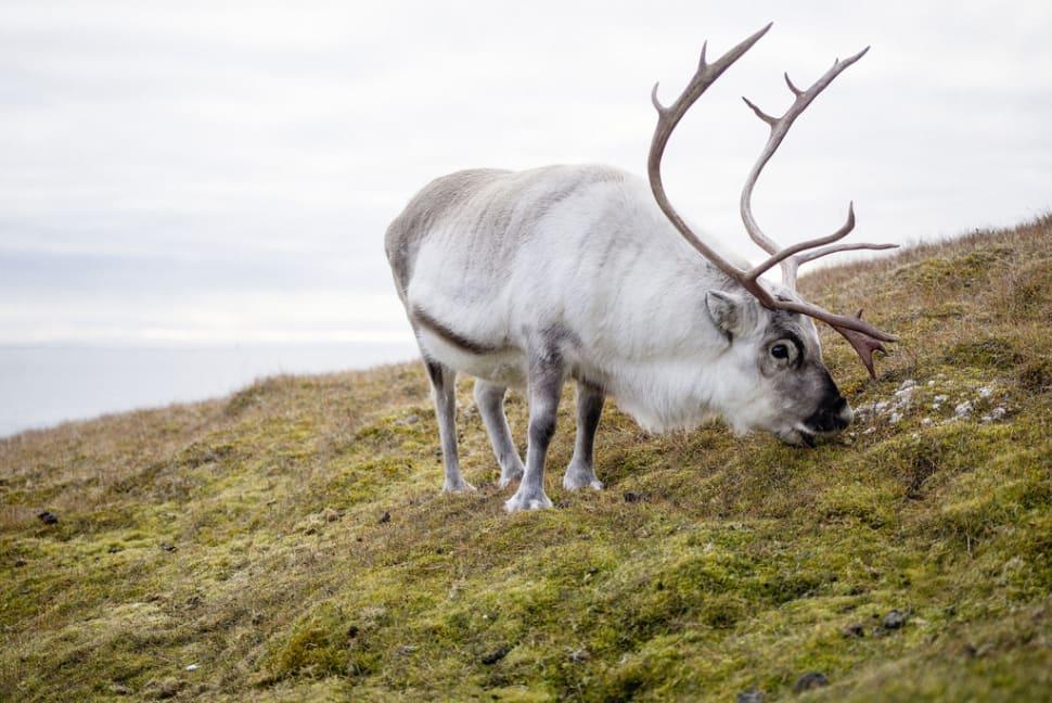 Reindeer in Svalbard - Best Time