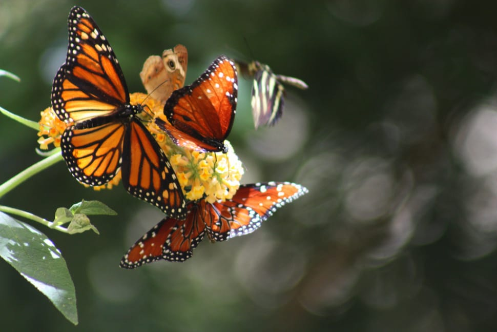 Best time to see Monarch Butterflies in California