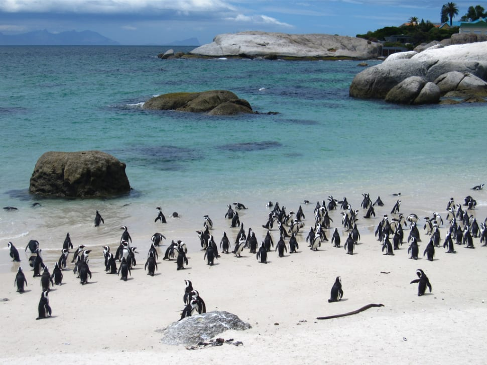Playful Penguins Watching in Cape Town - Best Season