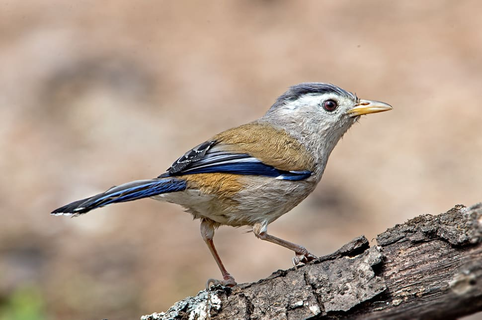 Blue-winged Minla spotted in Sattal, District Nainital, Uttarakhand, India