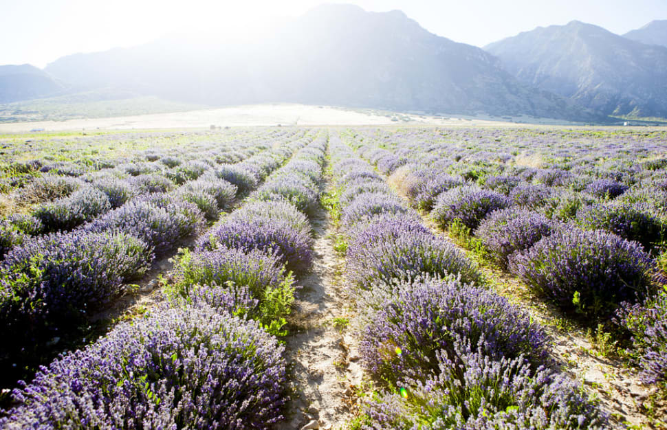 Lavender Days in Utah - Best Time