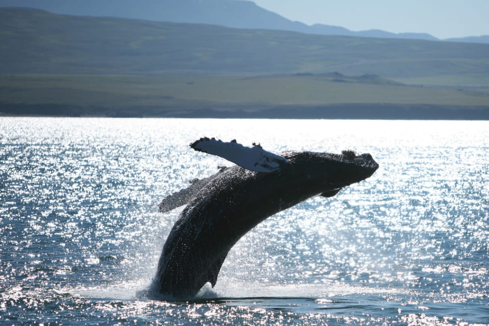 Best time to see Whale Watching in Iceland