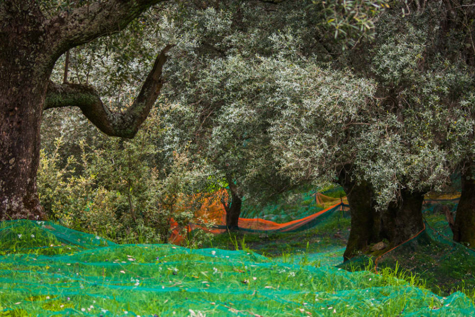 Best time for Olive Harvest in Corsica