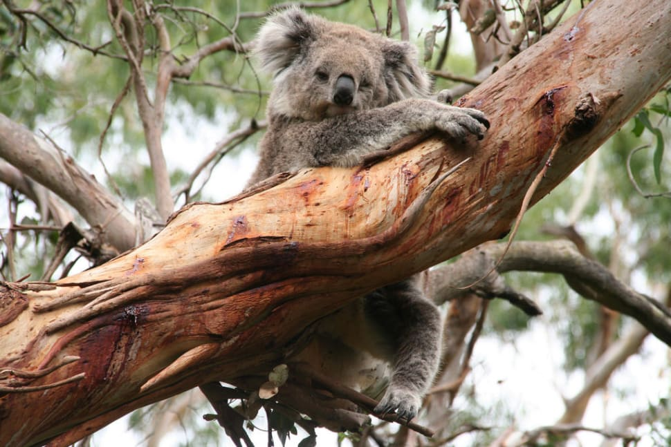 Best time for Koalas in Victoria