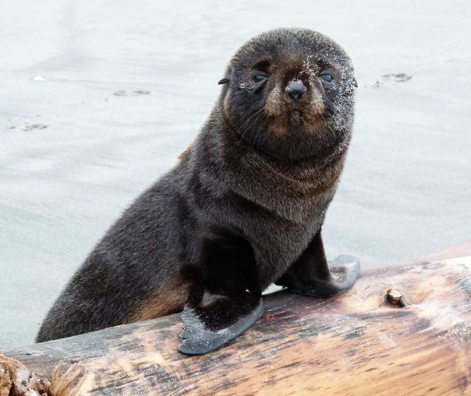 Best time for Baby Fur Seals Watching in New Zealand