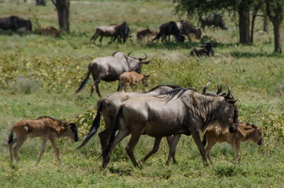 Wildebeest Calving in Serengeti in Tanzania - Best Season