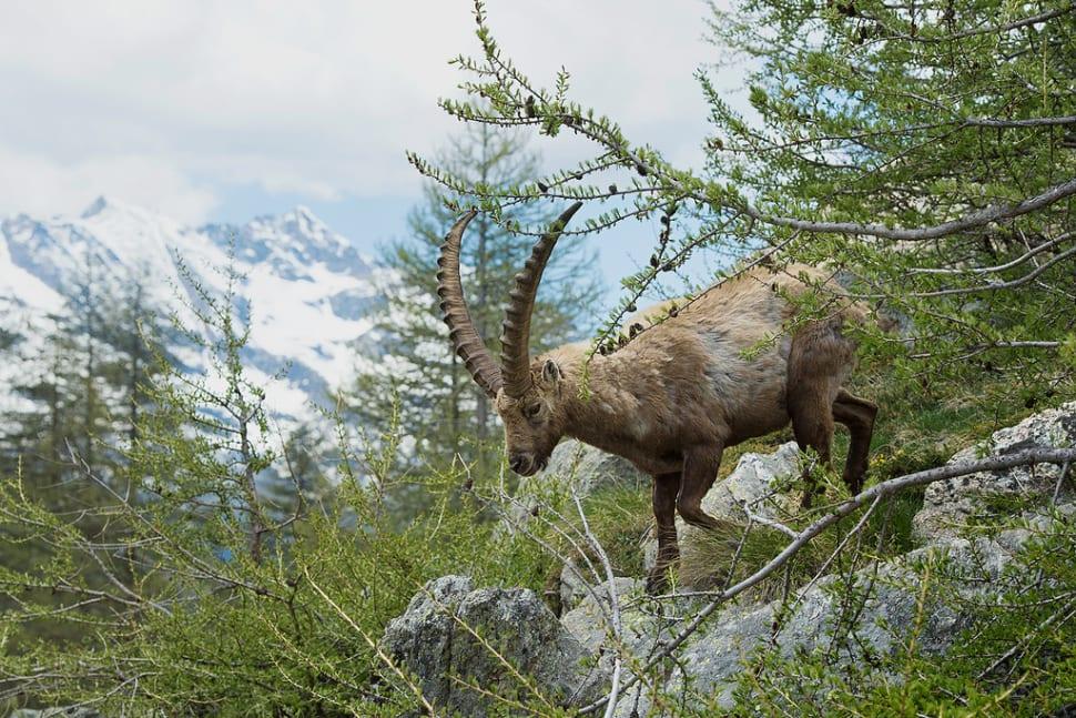 Alpine Ibex in Austria - Best Season