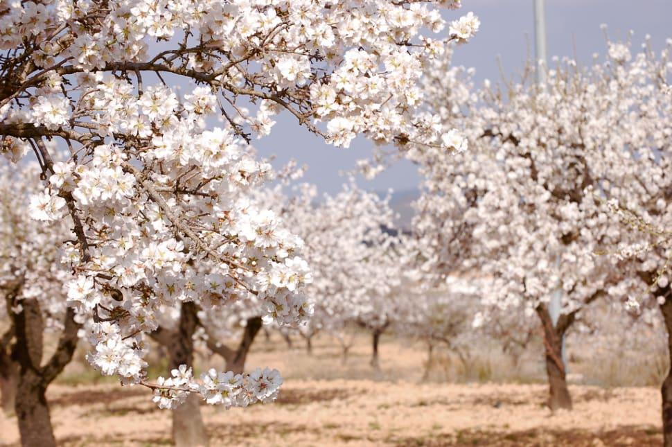Almond Trees in Bloom in Corsica - Best Season