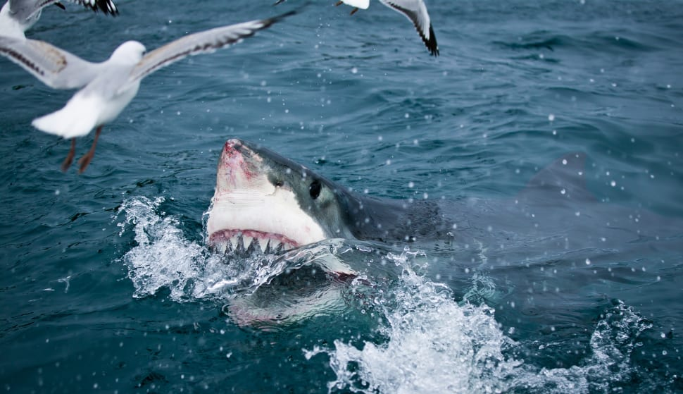 Great White Shark Cage Diving in New Zealand - Best Time