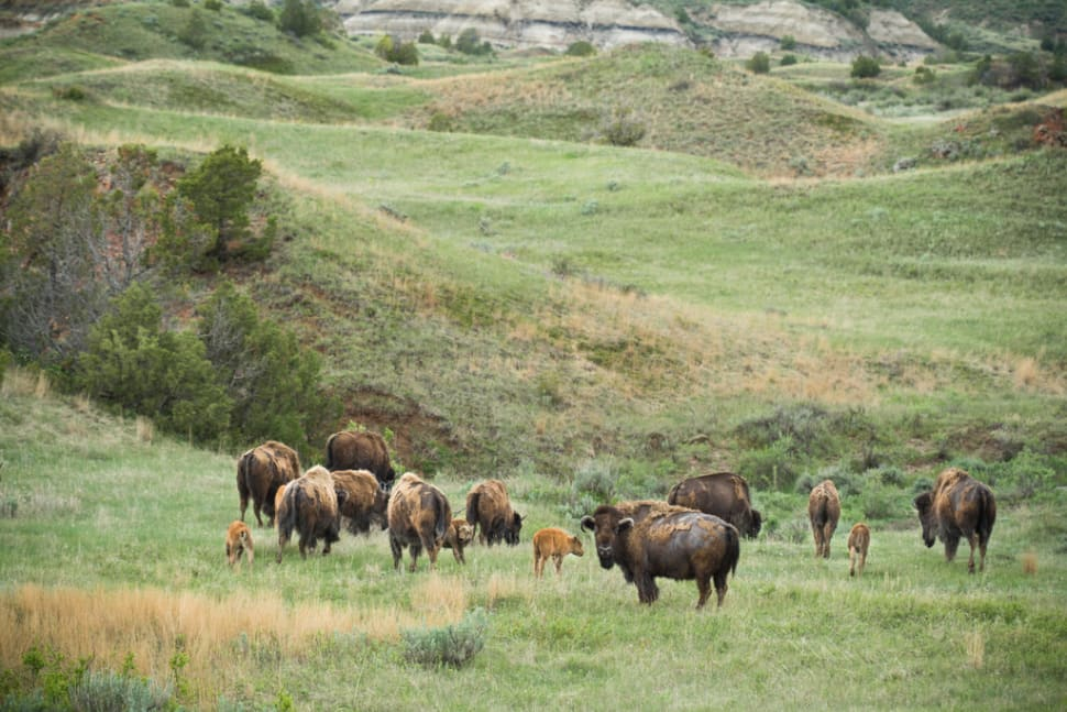 Baby Bison in the Theodore Roosevelt National Park in Midwest - Best Season
