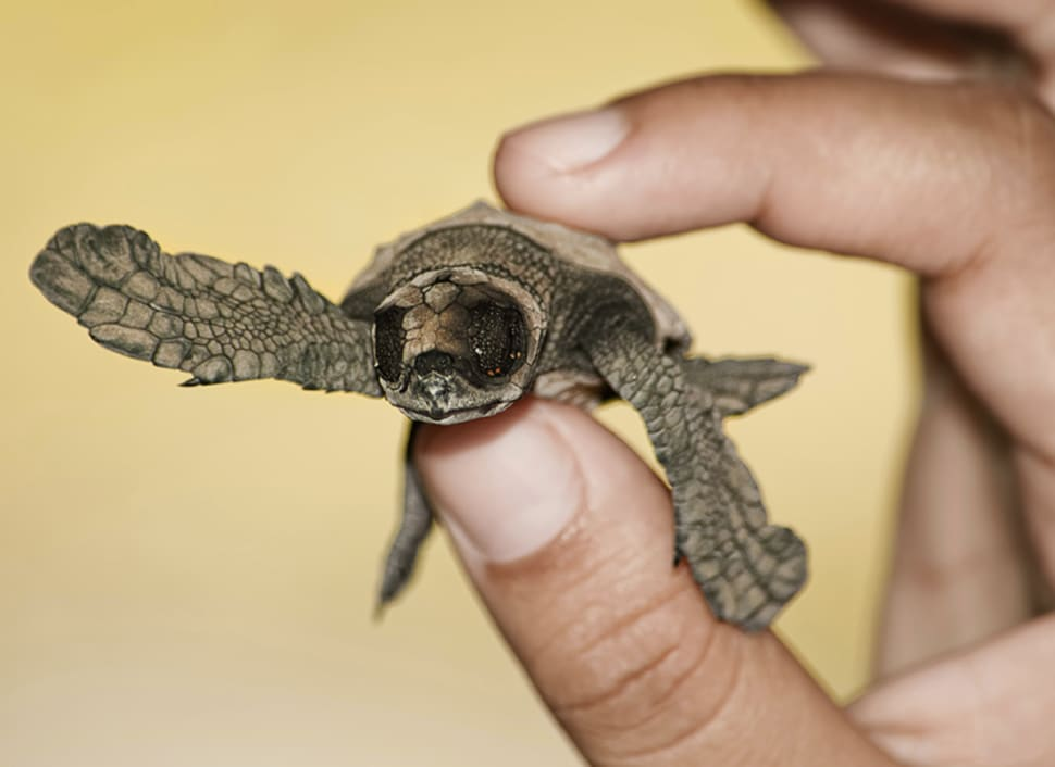 Sea Turtle Nesting and Hatching in Honduras - Best Time