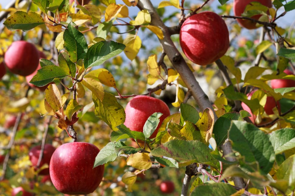 Best time for Fuji Apples in Japan