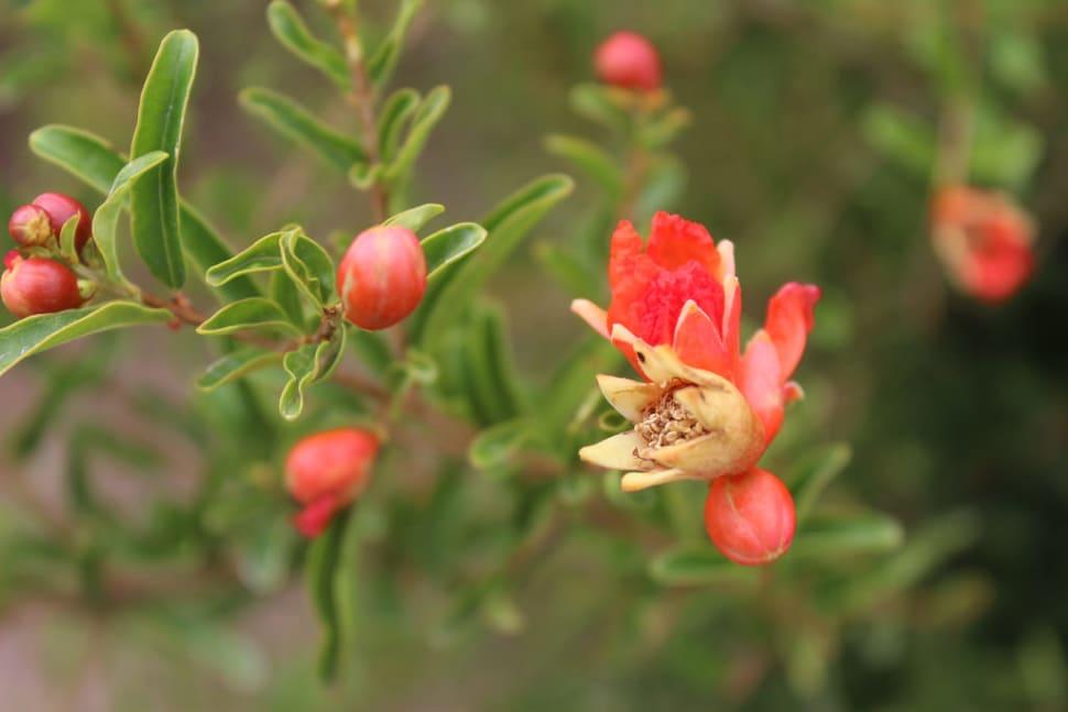 Pomegranate Season in Nevada - Best Season